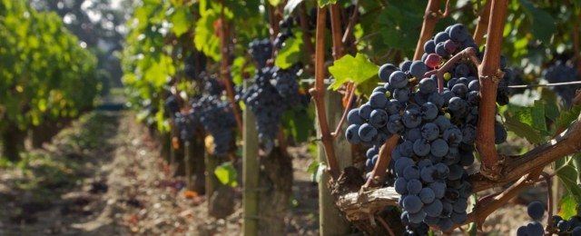large_Bourdeaux_Grapes_GCCC_